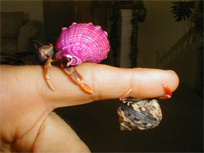 hermit crabs on finger